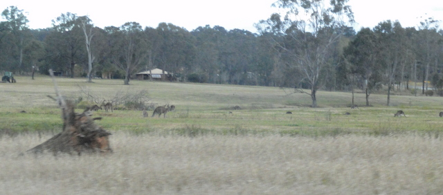 Random Kangaroos on the side of the road.